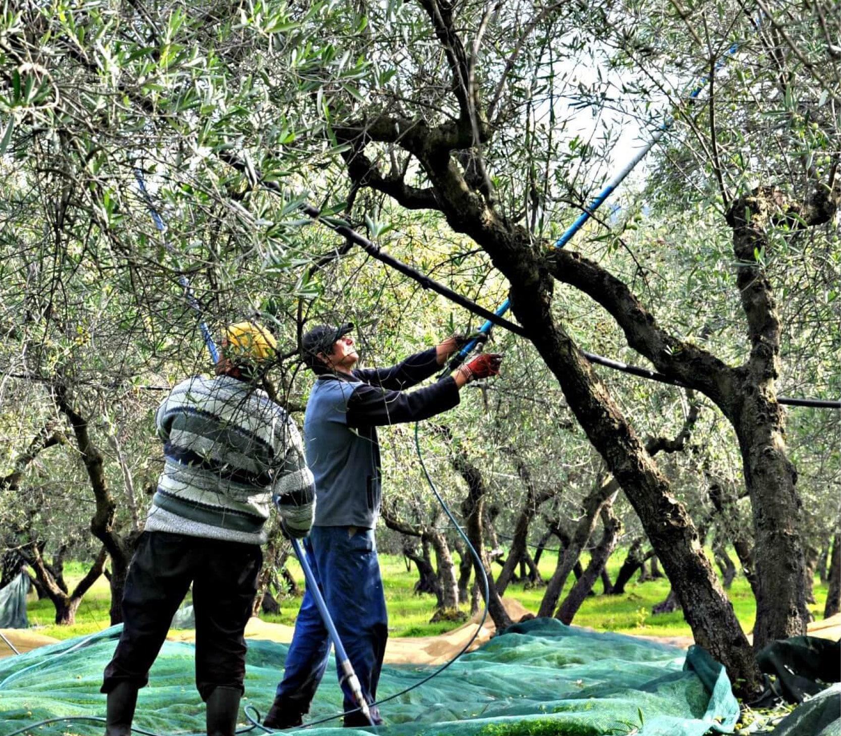 Producenten oogsten kalamata