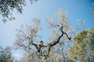 olijfboom in toscane